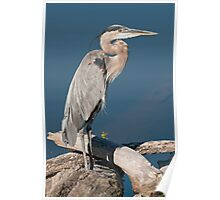 Great Blue Heron # 2  Poster