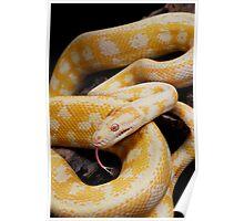 Albino Northern Territory Carpet Python (Morelia spilota variegata) Poster