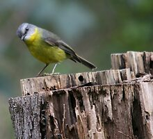Eastern Yellow Robin by Hereford