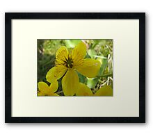 Beautiful buttercup in nature Framed Print