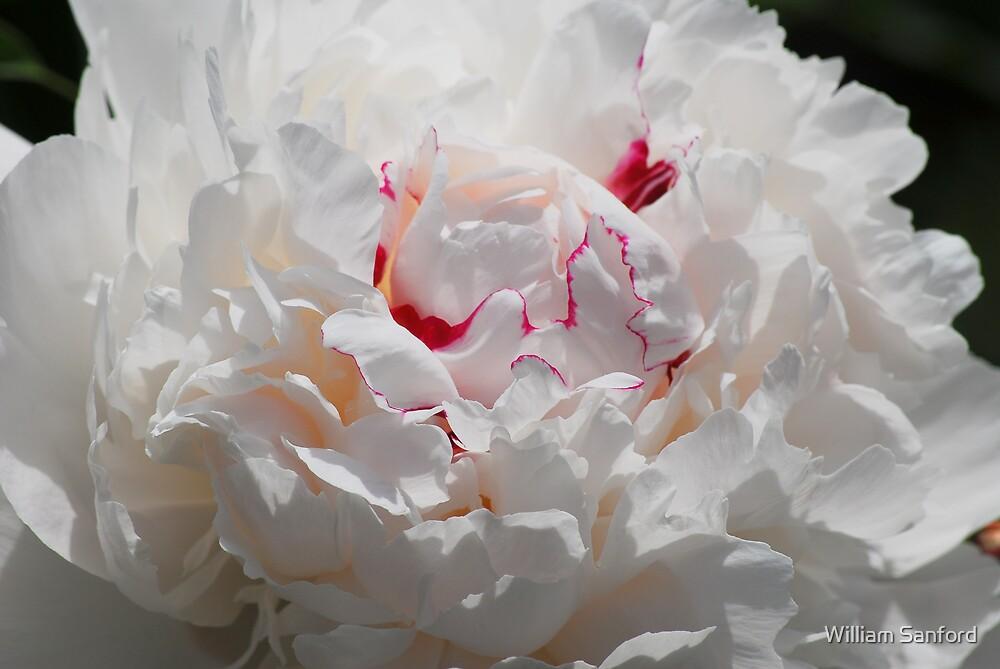 White Peony by William Sanford
