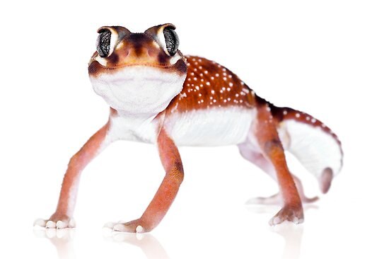 Western Smooth Knobtail Gecko (Nephrurus levis occidentalis) by Shannon Benson