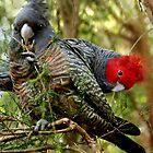 Gang-Gang Cockatoo by Julie Bird