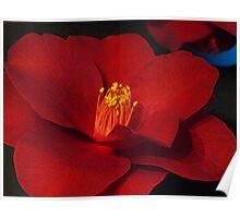 Camellia #1 - National Show, Warragul,  Poster