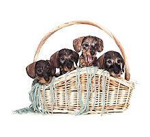Four dachshund puppy in a basket Photographic Print