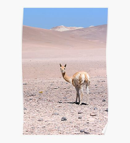 Vicuna high in the altiplano Poster