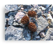 Cones on rocky surface Canvas Print
