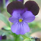 Viola in Purple by Pamela Jayne Smith