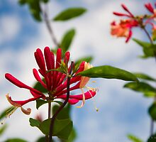 Red Honeysuckle by John Rinaldi
