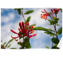 Red Honeysuckle Poster