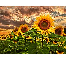 Sunflowers At Sunset Photographic Print