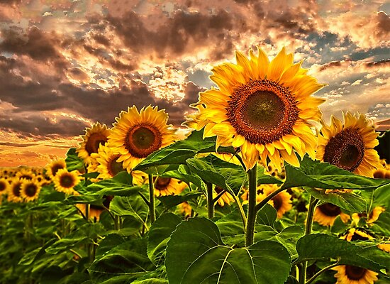 Sunflowers At Sunset by Kathy Weaver