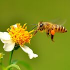 Busy Bee by Tony Wong