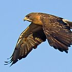 082909 Swainson&#x27;s Hawk by Marvin Collins