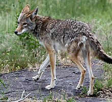 Coyote Looking Back by Wolf Read