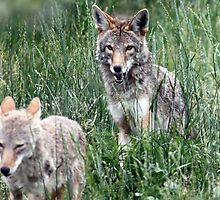 Two Coyotes Playing by Wolf Read