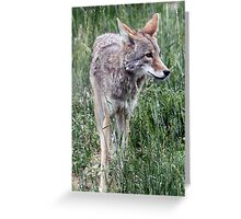 Coyote Portrait in Tall Grass Greeting Card