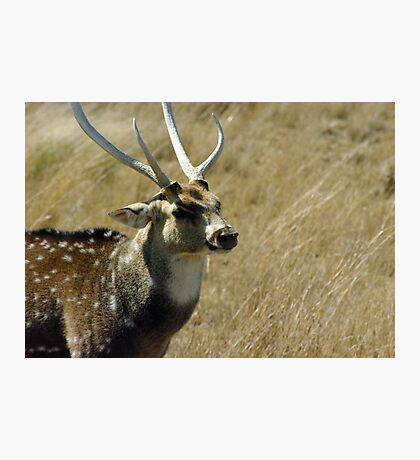 stag Photographic Print