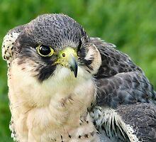 Peregrine Falcon 2 by Susie Peek