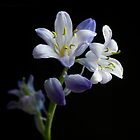 hyacinth by hanspeters
