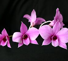 Cooktown Orchid by triciaoshea