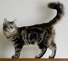 Awesome Maine Coon