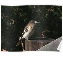 Butcher bird Poster