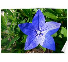 Blue Star-Shaped Flower Poster