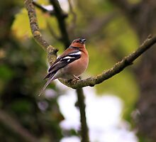 Male Chaffinch on a branch by GreyFeatherPhot