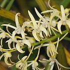 Sydney Rock Orchid by Andrew Trevor-Jones