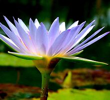 FOR THIS DAY, WE THANK YOU........THE BLUE WATERLILY – Nymphaea nouchall - WATER LELIE by Magriet Meintjes