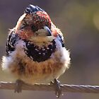 CRESTED BARBET by Magaret Meintjes