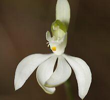 White Fingers Orchid - Caladenia catenata by Andrew Trevor-Jones