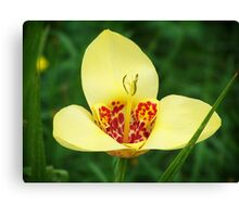 Mexican Lily Canvas Print