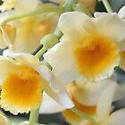 Dendrobium - speciosum.jpg by Forto