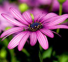 Daisy, Daisy by Renee Hubbard Fine Art Photography
