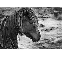 The Icelandic horse Photographic Print