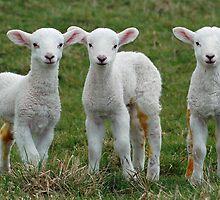 Triplet lambs by woolleyfir