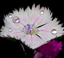 Dianthus Droplets ! by robkal