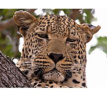 Tumbela, Male Leopard Photographic Print