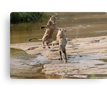 Lions Playing In Water Metal Print