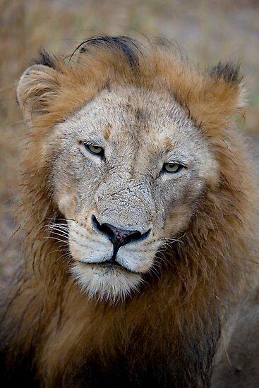 Manyaleti Male Lion by Michael  Moss