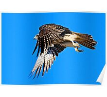 083009 Prairie Falcon Poster