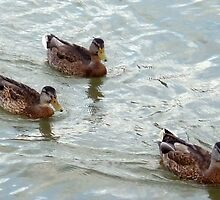 Ducks At Avon Lake,Ohio-On Lake Erie by Bea Godbee