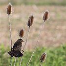 A blackbird gets a grip on teasel by Alice Kahn