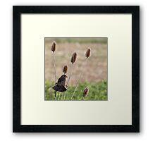 A blackbird gets a grip on teasel Framed Print