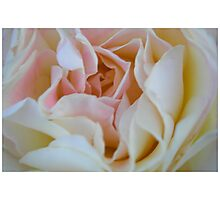 Yet another rose at dawn Photographic Print