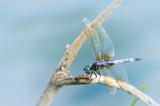 Dragonfly by Lisa G. Putman