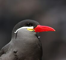 PORTRAIT OF A INCA TERN by cdudak