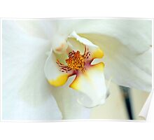 White Dream Orchid Poster
